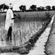 Indian farmer Jaleh Singh among his rice fields and sugar cane (INF 10/137)
