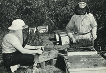 Bee keeping. Ontario produces most of Canada's honey. Beeswax is used in making candles, lipsticks and other products. Many plants depend on bees for cross-pollination. Canada 1963