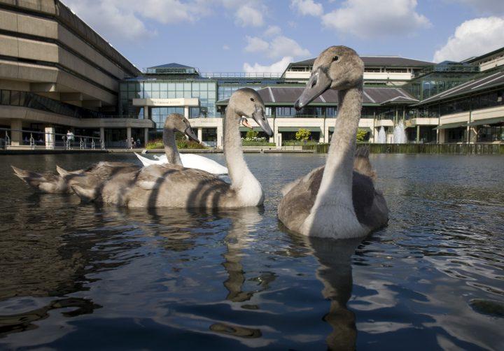 Family of resident swans