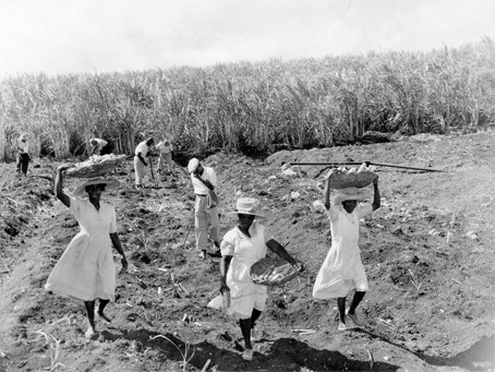 Sugarcane being planted on a hillside in Barbados in 1955.