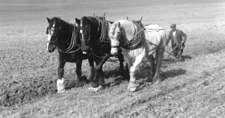 Three-horse plough team at work in the 1930s.