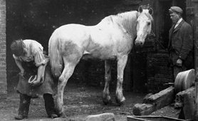 Photograph of a blacksmith shoeing a horse, 1900 (Catalogue reference: COPY 1/447)