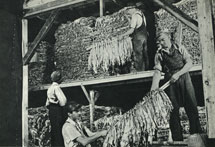 Bailing tobacco. After the 'sticks' of tobacco have been cured, the leaves are sorted, graded and tied into 'hands' for bailing. Canada 1963