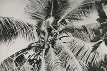 A toddy cutter collecting the sap from a coconut tree, Kiribati Catalogue reference: CO 1069/645